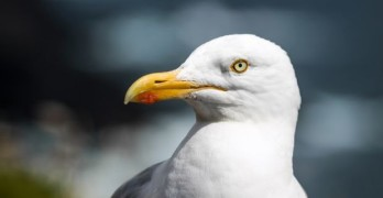 Why do we see gulls in winter?